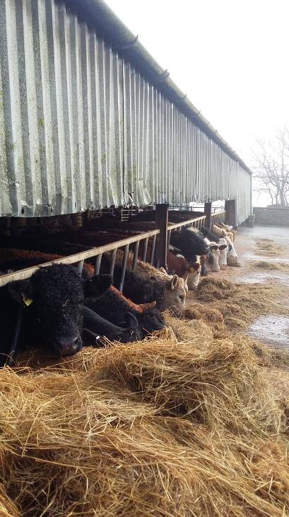 mountain-farm-cattle-2