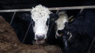 mountain-farm-happy-cattle